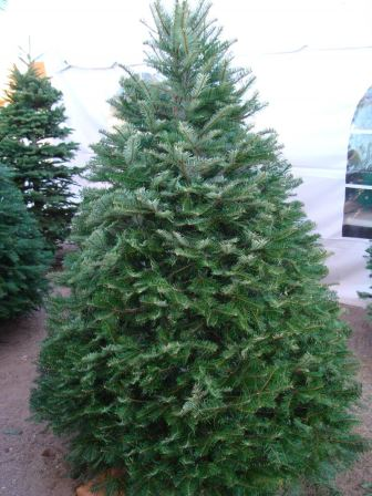 Kroll's Farm's Christmas Trees