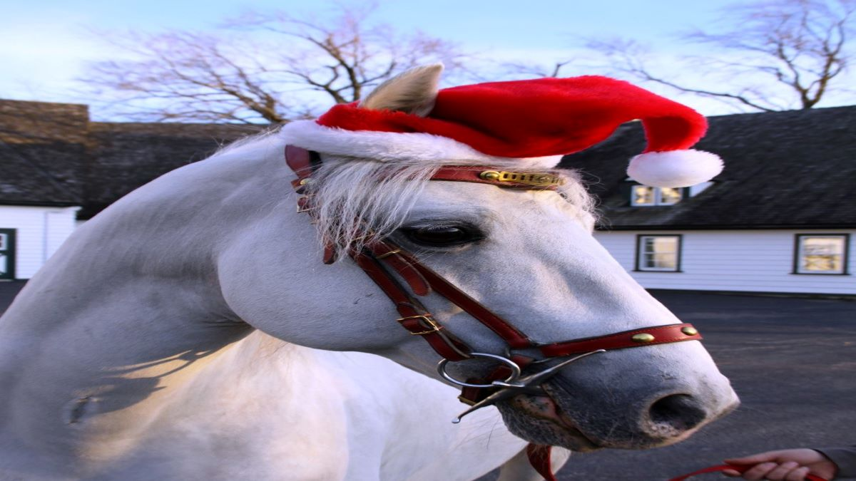 How a Lipizzan Stallion Learns to Dance Holiday Special at The Tempel Lipizzans