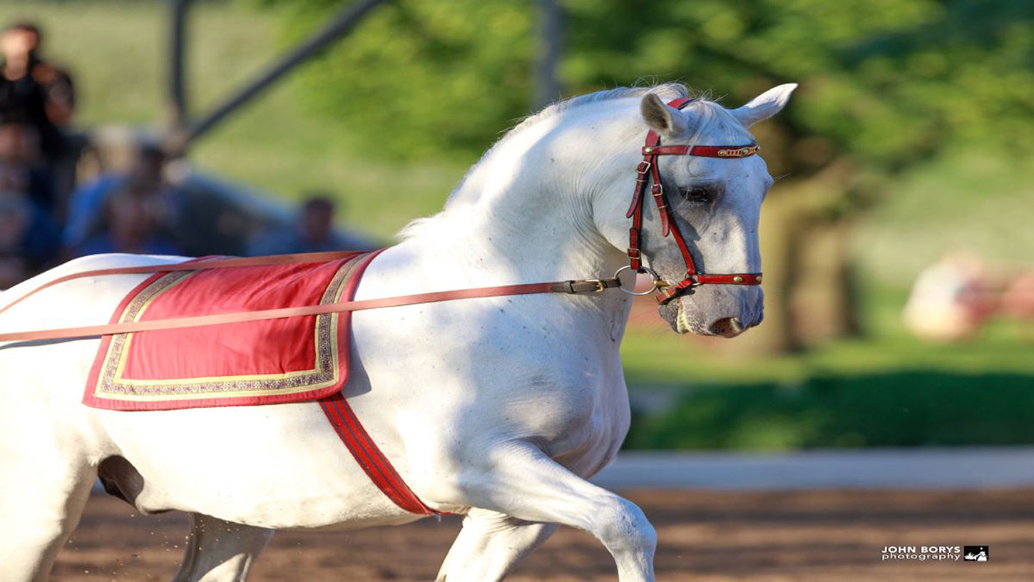 How a Lipizzan Stallion Learns to Dance at The Tempel Lipizzans
