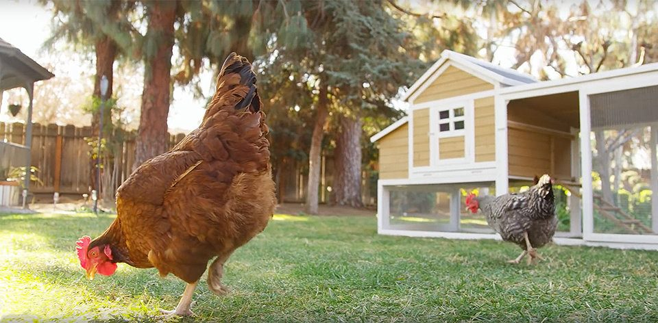 Backyard Chickens at the Lake County Farm Bureau
