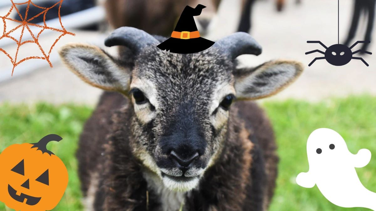Halloween at the Farmyard of Lambs Farm