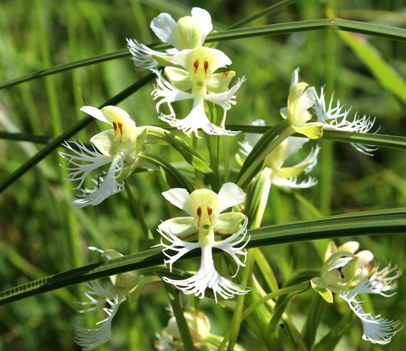 Virtual Program:  2020 Ethel Untermyer Conservation Forum: Native Orchids